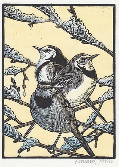 Richard Jarvis : Pied Wagtails